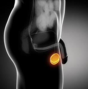prostate anatomy saggital view